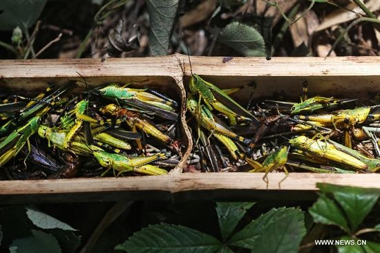 Locusts are caught in the trap in a bamboo forest in Wutan Township of Yiyang City, central China's Hunan Province, Aug. 8, 2013. A plague of locusts is spreading in bamboo forests in parts of the province, due to the continuous heat and drought recently. (Xinhua/Li Ga)