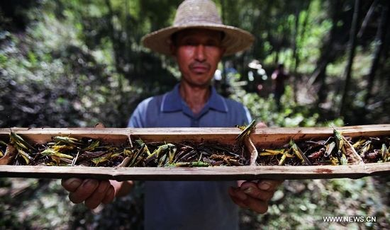 A working staff shows locusts caught in the trap in a bamboo forest in Wutan Township of Yiyang City, central China's Hunan Province, Aug. 8, 2013. A plague of locusts is spreading in bamboo forests in parts of the province, due to the continuous heat and drought recently. (Xinhua/Li Ga)
