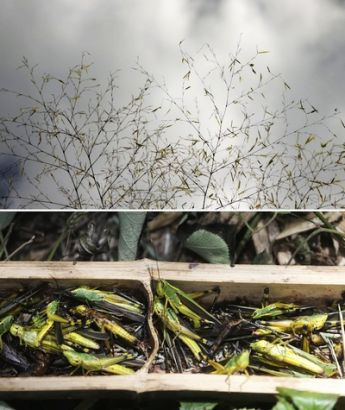 Combo photo taken on Aug. 8, 2013 shows bamboo leaves attacked by locusts (up) and locusts caught in the trap (bottom) in a bamboo forest in Wutan Township of Yiyang City, central China's Hunan Province. A plague of locusts is spreading in bamboo forests in parts of the province, due to the continuous heat and drought recently. (Xinhua/Li Ga)