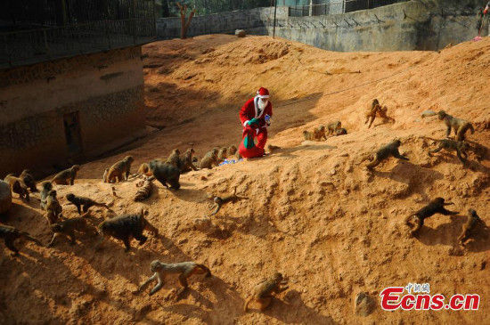 A zookeeper dressed as Santa Claus feed monkeys at the Yunnan Wild Animal Park in Kunming, Yunnan province on Dec 22, 2014. [Photo/ecns]