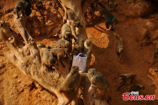 Monkeys unwrap their Christmas gift from a zookeeper at the Yunnan Wild Animal Park in Kunming, Yunnan province on Dec 22, 2014. [Photo/China News Service]