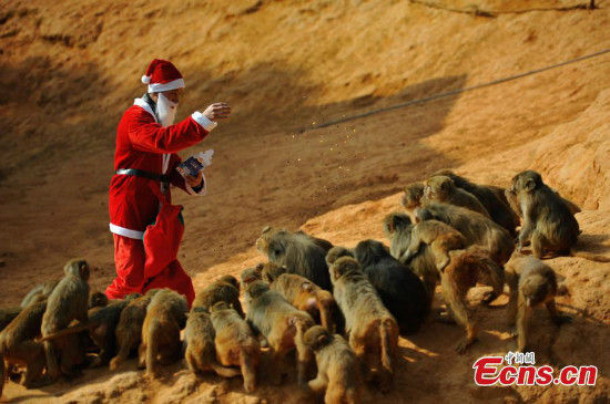 A zookeeper dressed as Santa Claus feed monkeys at the Yunnan Wild Animal Park in Kunming, Yunnan province on Dec 22, 2014. [Photo/China News Service]