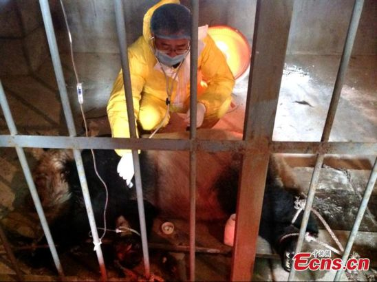 veterinarian is seen treating a panda which is ill after contracting a measle-like virus at the wild animal rescue and research center in Zhouzhi county, Northwest China's Shaanxi province. Local authorities confirmed on Monday that giant panda named Da Bao has died after contracting the virus, bringing the panda death toll from the disease to two. The first panda, eight-year-old Cheng Cheng, died on December 9, 2014. Another two pandas are ill, with one in critical condition. [Photo: China News Service/ Zhong Xin]