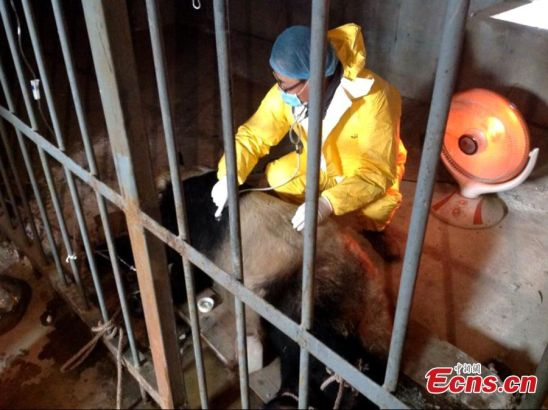 A veterinarian is seen treating a panda which is ill after contracting a measle-like virus at the wild animal rescue and research center in Zhouzhi county, Northwest China's Shaanxi province. Local authorities confirmed on Monday that giant panda named Da Bao has died after contracting the virus, bringing the panda death toll from the disease to two. The first panda, eight-year-old Cheng Cheng, died on December 9, 2014. Another two pandas are ill, with one in critical condition. [Photo: China News Service/ Zhong Xin]