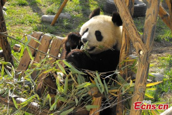 The picture is a file photo of panda provided by the wild animal rescue and research center in Zhouzhi county, Northwest China's Shaanxi province [Photo: China News Service/ Zhong Xin]