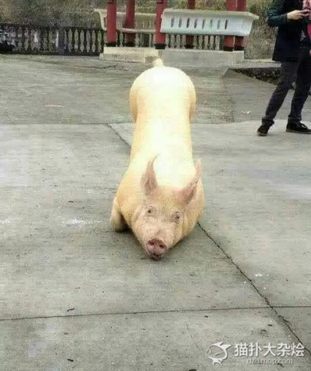 The pig knelt on its front legs outside of a temple as if it was worshiping the Buddha.