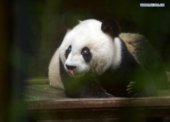 The 35-year-old giant panda Basi takes a rest after having a meal at a giant panda research center in Fuzhou, capital of southeast China's Fujian Province, May 21, 2015. Basi, the equivalent of over 100 years in human age, is the oldest living giant panda in Chinese mainland. (Xinhua/Jiang Kehong)