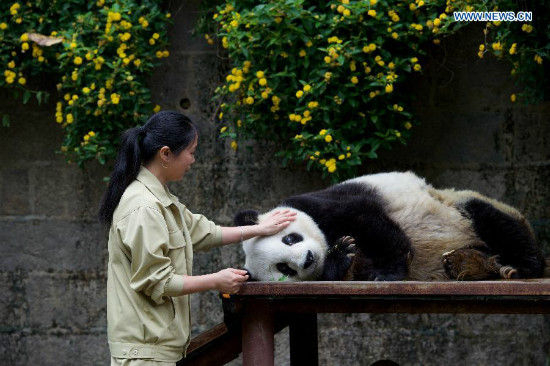Breeder Shi Feining strokes the 35-year-old giant panda Basi after feeding a meal at a giant panda research center in Fuzhou, capital of southeast China's Fujian Province, May 21, 2015. Basi, the equivalent of over 100 years in human age, is the oldest living giant panda in Chinese mainland. (Xinhua/Jiang Kehong)