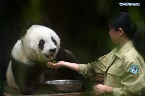 Breeder Shi Feining feeds the 35-year-old giant panda Basi at a giant panda research center in Fuzhou, capital of southeast China's Fujian Province, May 21, 2015. Basi, the equivalent of over 100 years in human age, is the oldest living giant panda in Chinese mainland. (Xinhua/Jiang Kehong)