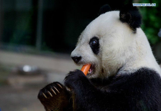 The 35-year-old giant panda Basi has a meal at a giant panda research center in Fuzhou, capital of southeast China's Fujian Province, May 21, 2015. Basi, the equivalent of over 100 years in human age, is the oldest living giant panda in Chinese mainland. (Xinhua/Jiang Kehong)