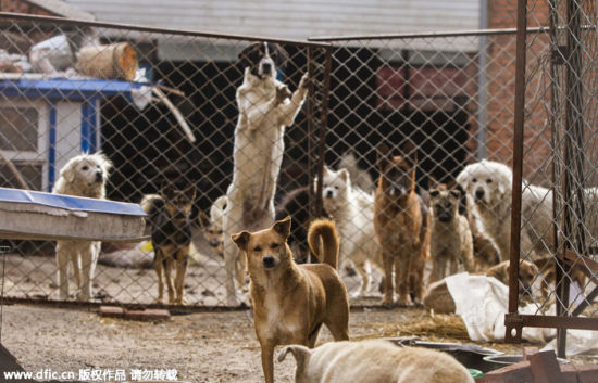 Dogs at the Changchun Animal Rescue Base founded by Wang Yan.