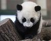 Panda cub enjoys home in Vienna