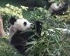 Pandas meets public in Macao