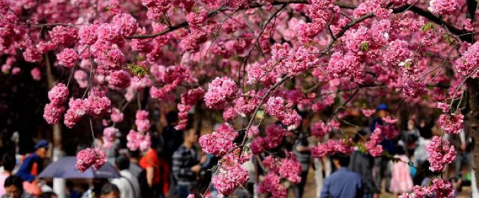 Cherry trees in blossom in Kunming