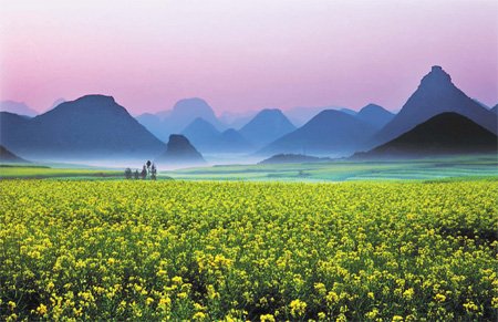 Blooming rapeseed flowers in Luoping