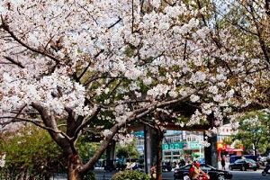 Cherry blossom in full bloom in China