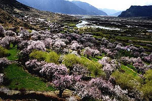 Peach Festival opens in Linzhi of Tibet