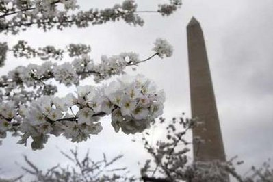 Cherry Blossom Festival ready in Washington DC