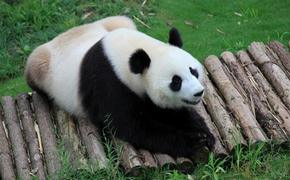 Pandas safe after days of torrential rain