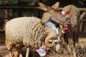 Ram, doe to tie the knot