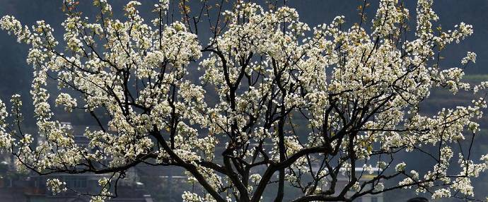 Pear blossom attracts tourists in Sichuan