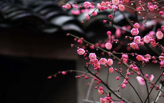 Peach blossoms to welcome spring